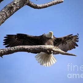 Randy Matthews - Bald Eagle in Flight 5