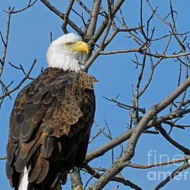 Lori Amway - Bald Eagle