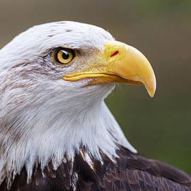 Nathan Mccreery - Bald Eagle Portrait