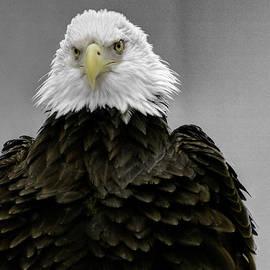 John Straton - Bald Eagle Ruffel my Feathers