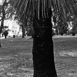 Cassandra Buckley - Balga Tree