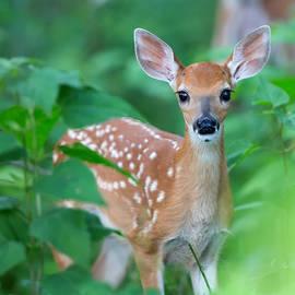 Jack Nevitt - Bambi