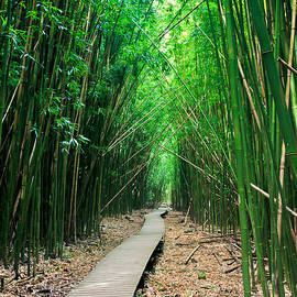Nature  Photographer - Bamboo Forest Path - A Trail leads through a bamboo forest
