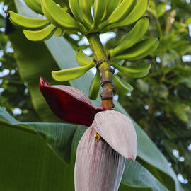 Banana Bloom