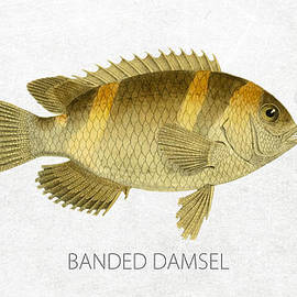 Banded damsel