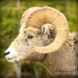 Stephen Stookey - Banff Bighorn