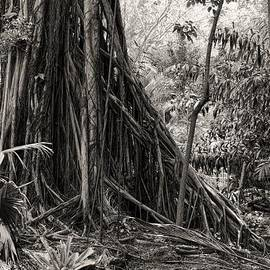 Rudy Umans - Strangler Fig and Cypress tree