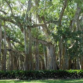 Kay Gilley - Banyan Tree