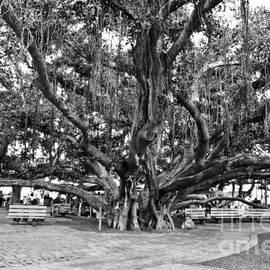 Scott Pellegrin - Banyan Tree