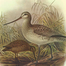 J G Keulemans - Bar Tailed Godwit and Chatham Island Snipe