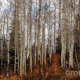 Robert Bales - Bare Aspen Trees