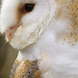 Chris Smith - Barn Owl