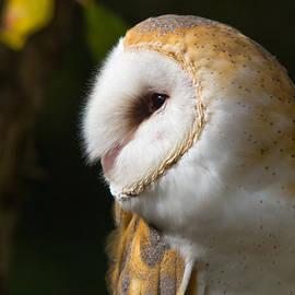 Robert Storost - Barn Owl