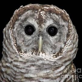 Rose Santuci-Sofranko - Barred Owl 3
