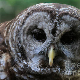 Dwight Cook - Barred Owl