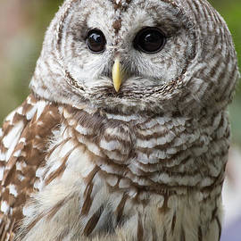 Dale Kincaid - Barred Owl Portrait