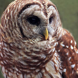 Rick Lesquier - Barred Owl