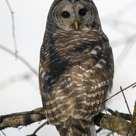 Mike Dawson - Barred Owl Stare