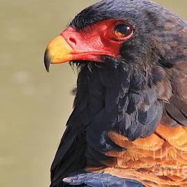 Hermanus A Alberts - Bateleur Eagle - Focus