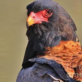 Hermanus A Alberts - Bateleur Eagle - Looking at me
