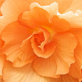 Venetia Featherstone-Witty - Begonia Beauty