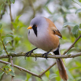 Chris Smith - Bearded Tit - 6