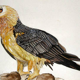 Tracey Beer - Bearded Vulture