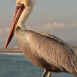Luv Photography - Pelican
