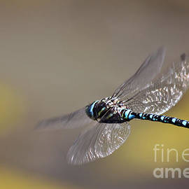 Janice Rae Pariza - Beautiful Blue Dragonfly Dancing