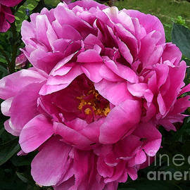 Maureen Tillman - Beautiful Bright Pink Frilly Peony