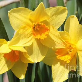Carol Groenen - Beautiful Daffodils