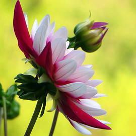 Jaunine Ammerman - Beautiful Dahlia
