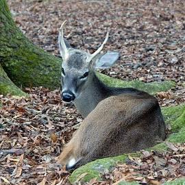 Cynthia Guinn - Beautiful Deer