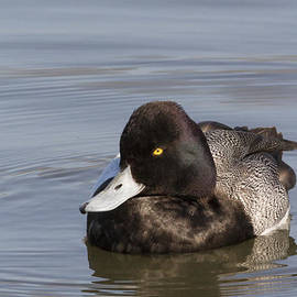 David Cutts - Beautiful Greater Scaup