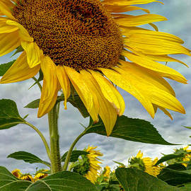 Laura Duhaime - Beautiful Large Sunflower