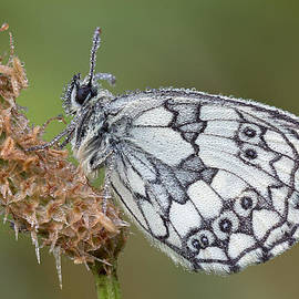 Mark Monckton - Beautiful Marble White Butterfly