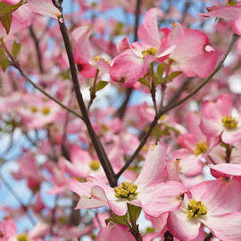 Eva Kaufman - Beautiful Pink Dogwood Tree Flowers