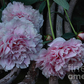 Luv Photography - Beautiful Pink Peonies on a Chair