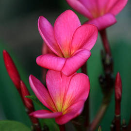 Sabrina L Ryan - Beautiful Red Plumeria