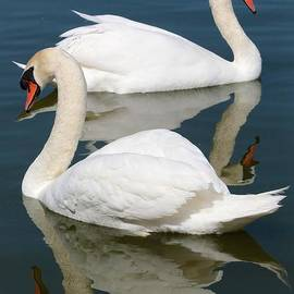 Carol Groenen - Beautiful Swan Pair