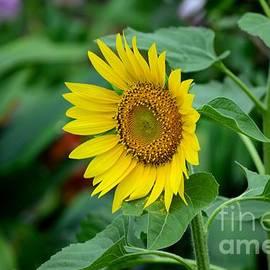 Imran Ahmed - Beautiful yellow Sunflower in full bloom