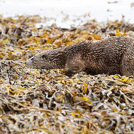 Mr Bennett Kent - Beautifully camouflaged Otter on the Isle of Mull Scotland UK