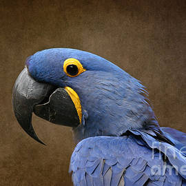 Sharon Mau - Beauty is an Enchanted Soul - Hyacinth Macaw - Anodorhynchus hyacinthinus