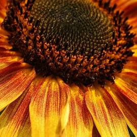 Bruce Bley - Beauty of a Sunflower