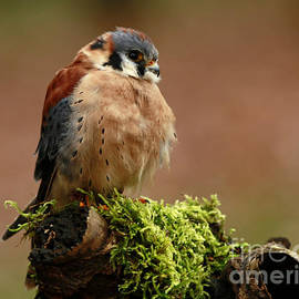 Inspired Nature Photography By Shelley Myke - Beauty of Autumn American Kestrel