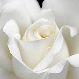 Jennie Marie Schell - Beauty of the White Rose Flower