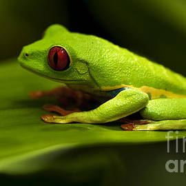 Bob Christopher - Beauty Of Tree Frogs Costa Rica 4