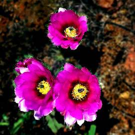 Bob and Nadine Johnston - BeaveTail Cactus Flowers