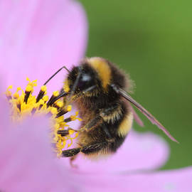Colin Hunt - Bumble Bee on Flower