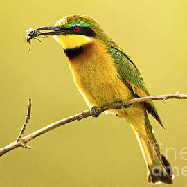 Sharon Ely - Bee-Eater